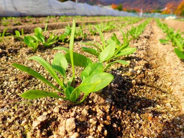 露地畑の水はけが野菜栽培に与える影響は大きい